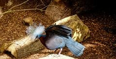 Bird - 5239 (ΨᗩSᗰIᘉᗴ HᗴᘉS +19 000 000 thx) Tags: bird oiseau pairidaiza hensyasmine namur belgium europa aaa namuroise look photo friends be wow yasminehens interest intersting eu fr greatphotographers lanamuroise tellmeastory flickering nature