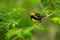 DSC_4830 (Gaby Swanson, Photographer) Tags: bird birds wildlife migration birdmigration mageemarshwildlifearea ohio