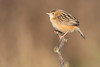zitting cisticola (leonardo manetti) Tags: uccello bird nature sunset red winter colours naturephotography field natural nikkor countryside green zitting cisticola