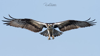 Osprey of the Jersey Shore | 2018 - 12