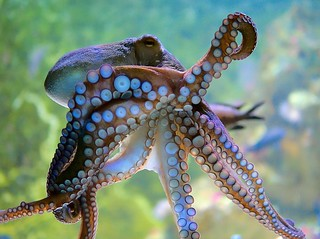 Krake   /   Oktopus