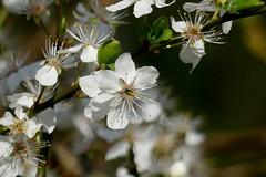 Spring (BrigitteE1) Tags: bremen frühling spring weis blüten blossoms april blüte blossom white bokeh macro green grün natur nature