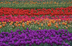 Rainbow tulips (Lake Vermilion1) Tags: borderfx tulips flowers landscape scenic colorful tulip nature natural biological flora farm colors color rainbow beautiful northwest plant fields purple oregon tulipfields bloom woodenshoetulipfarmspring bulbs buds blossoms craigvoth reallyrightstuff gitzo nikon nikond810