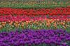Rainbow tulips (Lake Vermilion1) Tags: borderfx tulips flowers landscape scenic colorful tulip nature natural biological flora farm colors color rainbow beautiful northwest plant fields purple oregon tulipfields bloom woodenshoetulipfarmspring bulbs buds blossoms craigvoth reallyrightstuff gitzo nikon nikond810