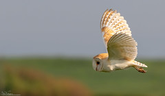 Barn Owl away hunting. (Steve (Hooky) Waddingham) Tags: animal bird british barn wild wildlife prey photography nature northumberland countryside coast mice morning voles