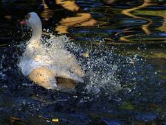 Bathing Duck (minminatmidnight) Tags: fujifilmfinepixs100fs vogel vögel wasservogel wasservögel waterbird waterbirds ente duck water bathing badend baden spritzen spritzer wassertropfen splash