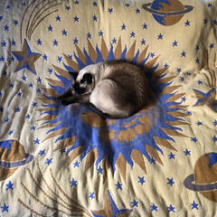 dreamland (Robert Couse-Baker) Tags: 2017 365 cat stars space universe blanket nappingcat baby littledoglaughed siamese