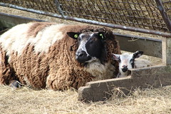 Safe  with Mom (excellentzebu1050) Tags: lamb sheeps animal animals farm livestock newlife closeup animalportraits oudoors coth5