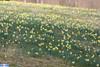 IMG_5690 (superingo78) Tags: monschau höfen narzissen blüte frühling natur schön