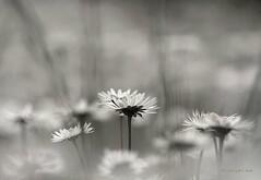 White Harmony ... (MargoLuc) Tags: spring meadow daisies white flowers feeling bokeh monochrome grass bw april