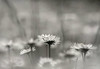 White Harmony ... (MargoLuc) Tags: spring meadow daisies white flowers feeling bokeh monochrome grass bw april