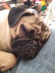20180422_171013 (Pak T) Tags: dog pet pug penelope lap samsunggalaxys8