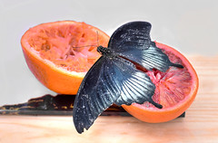 Farfalla 2 (Maurizio Belisario) Tags: farfalla fruit frutta arancia orange butterfly animals animali volo fly ali natura nature