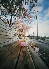 the things we can't get enough of, part five (manyfires) Tags: film analog blossom bloom pink floralscape flowers spring sakura downtown pdx portland oregon pnw pacificnorthwest innova6x9pinhole pinhole steelbridge bench