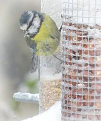 Under The Weather! ('cosmicgirl1960' NEW CANON CAMERA) Tags: birds garden nature feeders winter dartmoor devon yabbadabbadoo