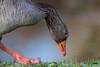 Rictus (Jacques GUILLE) Tags: oiseau oiecendrée domainedesoiseaux 09 anatidés anseranser ansériformes ariège greylaggoose mazères bird occitanie france fr