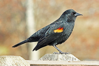 Red-winged Blackbird Male 18-0310-6069