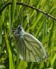 Pieris napi (bego vega) Tags: lepidoptera lepidóptero mariposa butterfly pieridae pieris napi insect insecto animal greenveined white verdinervada macro madrid vf jardín garden bego vega veguita bv begovega