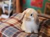 ms bunny (SanctyYumi) Tags: bunny usagi rabbit msbunny roppongi tokyo animalcafe cute 可愛い 動物 うさぎ 東京 六本木