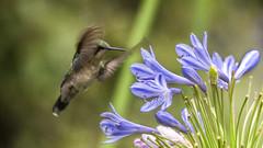 Western Emerald hummingbird nectaring on Agapanthus flower (PriscillaBurcher) Tags: trochilidae chlorostilbonmelanorhynchus esmeraldacoliazul esmeraldadecolaazul westernemerald esmeraldaoccidental émeraudedesandesoccidentales émeraudeorvert hummingbirdsfromcolombia colibríesdecolombia laceja colombia priscillaburcher dsc7576