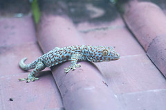 Gecko (kuuan) Tags: mf manualfocus penf zuikoautotf35100mm 100mm f35 sonya7 ilce7 ubud bali indonesia animal gekko lizard explored tokay penff35100mm tokeh gecko