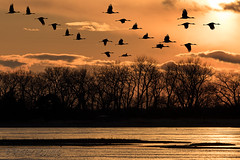 Sandhill_Cranes-52 (Beverly Houwing) Tags: nebraska sandhillcranes plattriver migration spring birds conservation cranetrust sanctuary protected flying sihouette clouds sky sunset unitedstates midwest