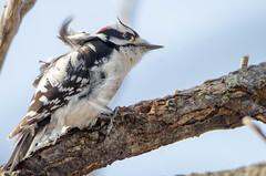 Feathers in the wind! (anniebevilacqua) Tags: oiseau bird picchevelu hairywoodpecker leuconotopicusvillosus vent wind faunemontréal montrealwildlife picidé arbre tree