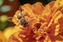 Bee on Marigold 2018-04-07 (7D_182A5531) (ajhaysom) Tags: tesselaars silvan kabloom melbourne australia flowers canoneos7dmkii canon100mmlmacro bee marigold
