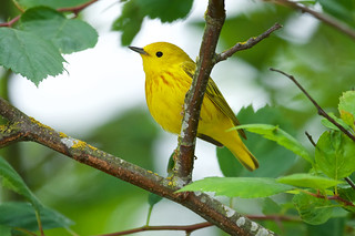 Yellow warbler, male