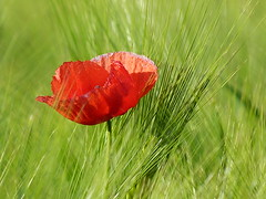 Papoila / poppy -Thank you very much for the Explore! - Always welcome! (sav@z) Tags: