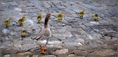 on reste groupés, les enfants ! (Save planet Earth !) Tags: suisse genève birds amcc nikon travel voyage
