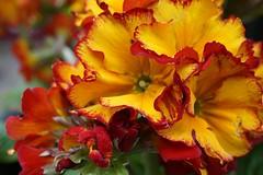7DWF: Fridays: flora (quietpurplehaze07) Tags: 7dwffridaysflora macro flowers polyanthus red orange bright flower