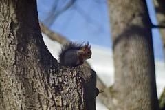 squirrel OKC 1-150-1 Sony A7R (vladimirfeofanov) Tags: