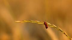 *** (pszcz9) Tags: przyroda nature natura zbliżenie closeup owad insect beautifulearth sony a77 bokeh