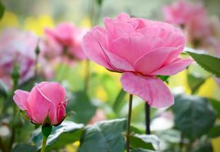 La rosaleda