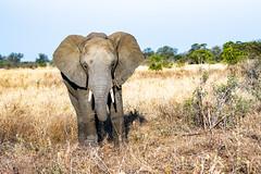 Elephant young male (mayekarulhas) Tags: krugerpark krugernationalpark wildlife wild elephant canon mammal animal