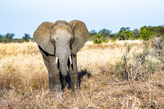 Elephant young male