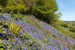 Bluebells (Keith in Exeter) Tags: bluebell flower tree fern redcampion grass coneyscastle dorset rural landscape farm field sky hill fort