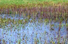 A puddle densely grown through by clumps of grass (adp_cz) Tags: e0002 abstract agriculture blue botanical botany breeding bright color colorful country countryside environment farming farmland field fields flora forest garden grass green ground herb herbal horizontal land landscape leaf leaves marsh meadow morass mosquitos natural outdoor outdoors outside plant plants rural scene scenery scenic season sharp swamp vegetation vivid water wildlife