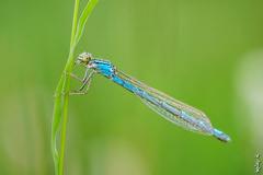 Little dragonfly ... (N.Batkhurel) Tags: season summer insects dragonfly mongolia macro closeup övörkhangai ngc nikon nikondf 105mm