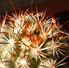 Mammillaria (Bartschella) schumannii v. globosa (Alex_CL) Tags: mammillaria bartschella schumannii globosa macro cactus spines