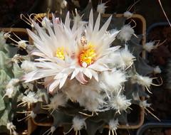 Obregonia denegrii (armen.cactus) Tags: cactus succulent obregonia denegrii flowers blooms