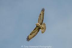 Buzzard Overhead (buteo buteo) (search instagram phat5toe) Tags: buzzard buteobuteo raptor prey birds avian feathers wildlife nature wigan flashes nikon d7000 tamron150600mm