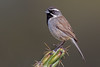Black-throated Sparrow (Eric Gofreed) Tags: arizona blackthroatedsparrow lakepleasant sparrow yavapaicounty