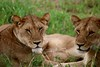 sister wives (SusanKurilla) Tags: wildlife africa kenya tanzania wild safari adventure sisters lion