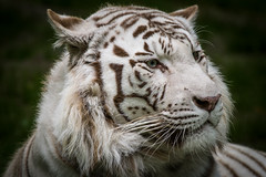 IMG_0111 (Florian Mallet Photo) Tags: zoo beauval animals tigre lion hippopotame gorille singe parc