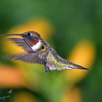 male ruby-throat hummingbird 5-21-18_012 thumbnail