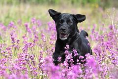 Buddy (Flemming Andersen) Tags: buddy dog flower puple