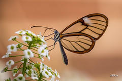 Glasswinged (jt893x) Tags: 105mm afsvrmicronikkor105mmf28gifed butterfly clearwing d810 glasswing glasswinged gretaoto insect jt893x macro nikon coth thesunshinegroup alittlebeauty coth5 sunrays5 ngc npc