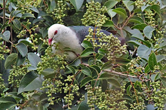 White-headed Pigeon (aussiegypsy_top end Northern Territory) Tags: whiteheadedpigeon largetree fruit fruiting malanda redeye pink eye white head pigeon grey large columbaleucomela food feeding eating berries giant tree privet ligustrumlucidum rainforest tropics tropical athertontablelands lorraineharris fnq tnq farnorth queensland australia australian aussie bird birdlife wild wildlife nature naturalhabitat outdoors canopy